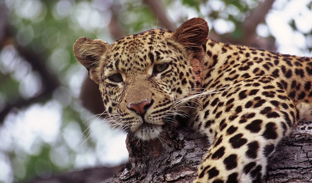 Motivational Speaker Leopard